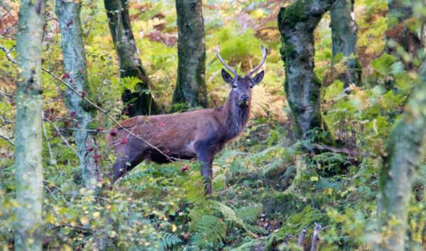Red Deer Stag Middle Hill woods