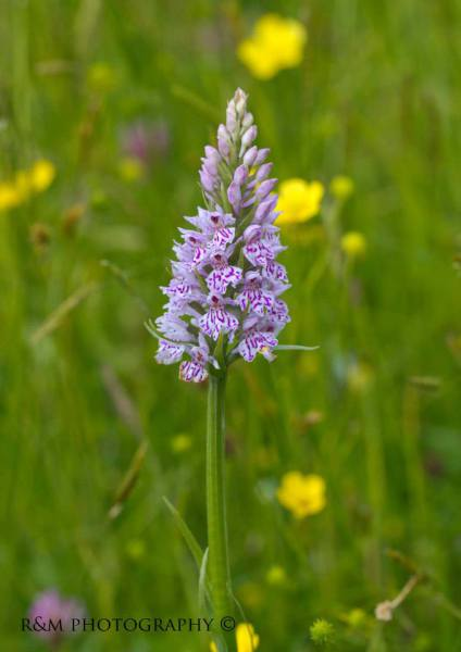 Common spotted Orchid in hay meadow