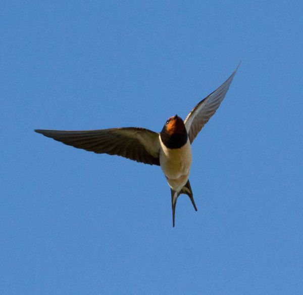 Swallow flying above the cottage