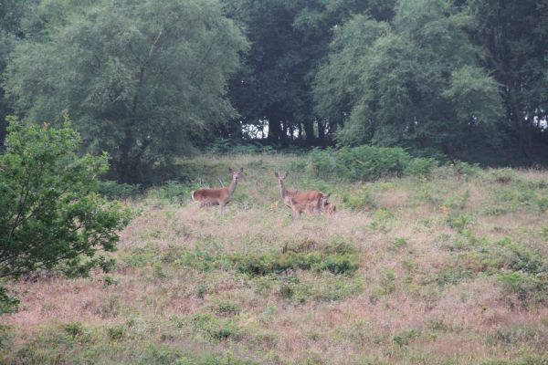 Red deer with calves