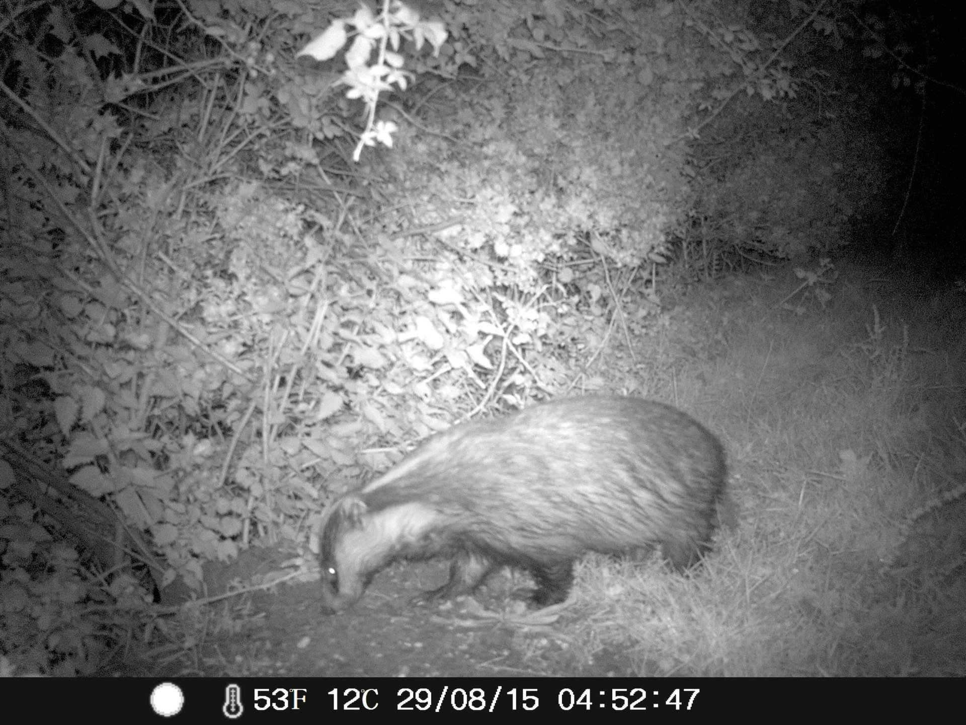 Badger at night snapped with trail camera